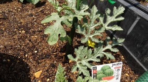 1年生の植えたスイカ「赤こだま」